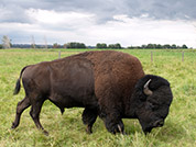 Buffalo Meat in Southern Alberta